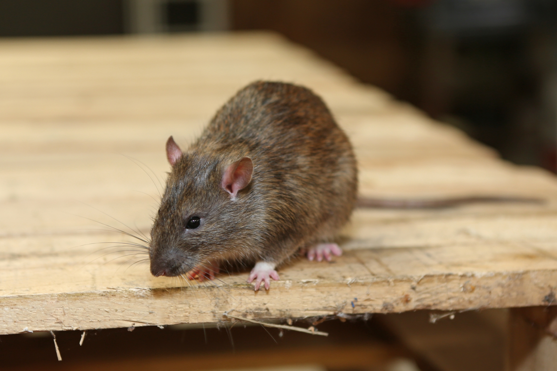 Rat Infestation, Pest Control in Falconwood, Welling, DA16. Call Now 020 8166 9746